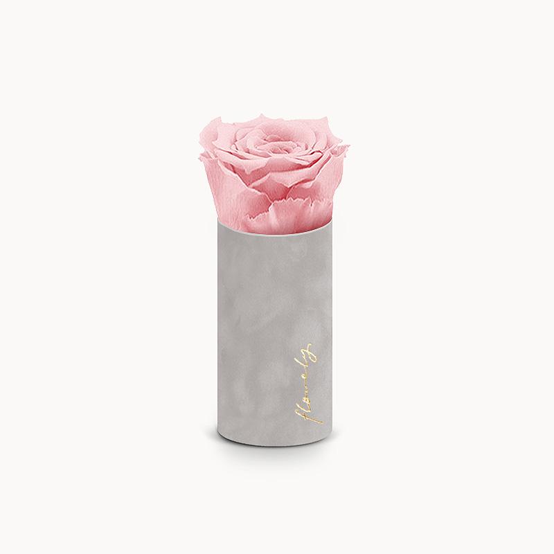 pudrowa róża wieczna